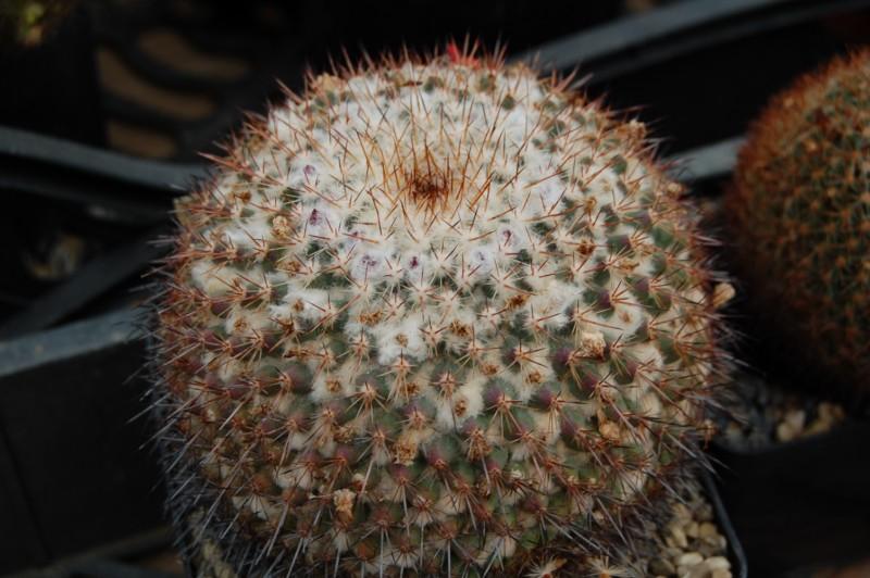 Mammillaria hertrichiana forma LAU 86