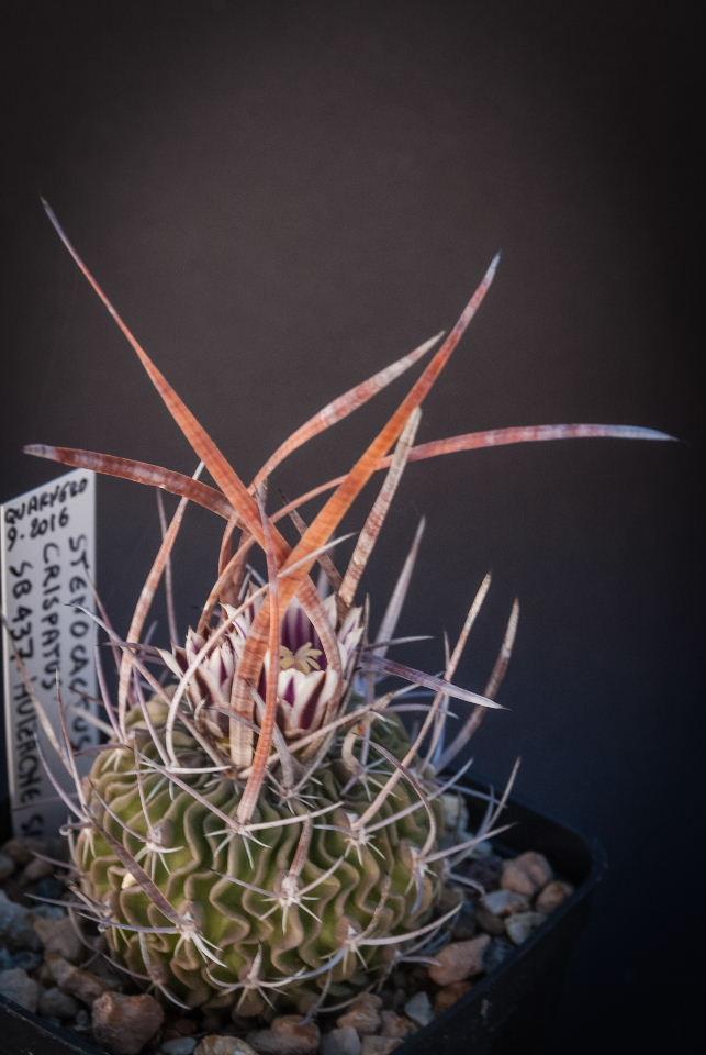 Stenocactus crispatus SB 437