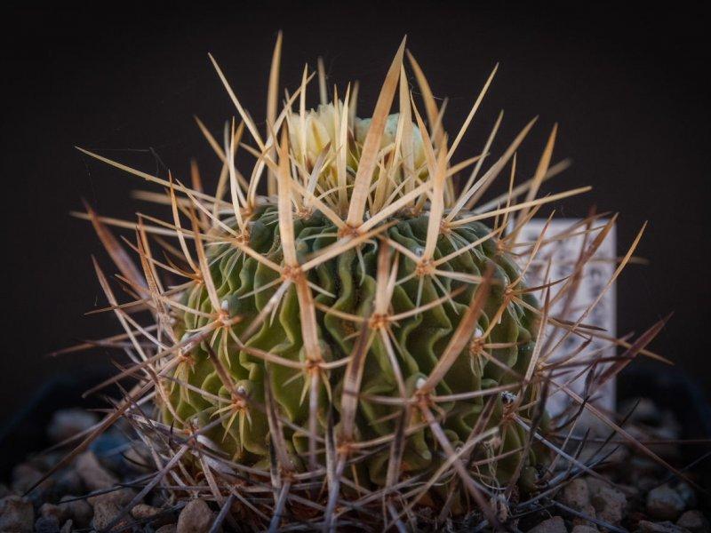 Stenocactus sulphureus