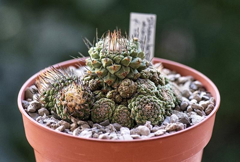 Strombocactus disciformis v. caespitosa