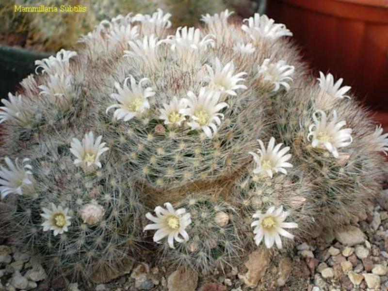 Mammillaria subtilis