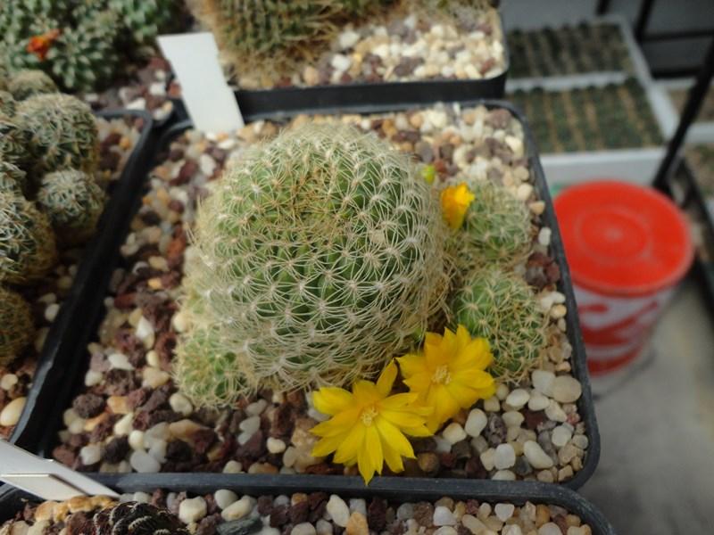 Sulcorebutia breviflora L 313