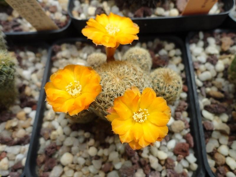 Sulcorebutia breviflora forma - orange L 314