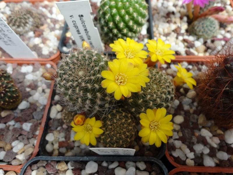 Sulcorebutia breviflora v. haseltonii L 315