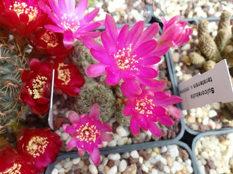 Sulcorebutia canigueralii v. applanata