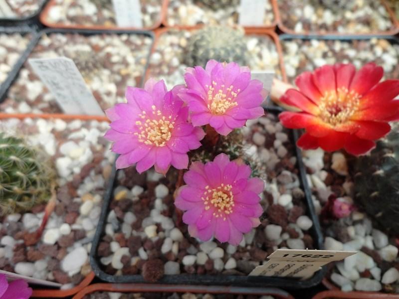 Sulcorebutia cantargalloensis G 269 kb