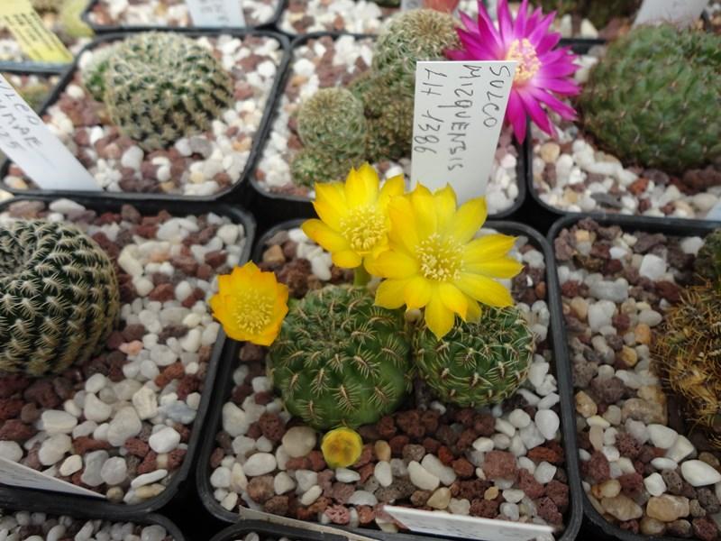 Sulcorebutia elizabethae Lh 1128