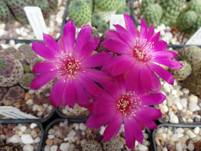 Sulcorebutia rauschii G 264a-3