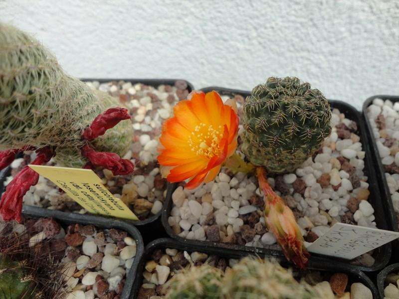 Sulcorebutia tarabucoensis JK 57