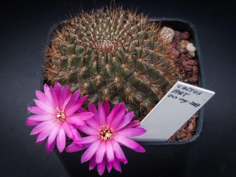 Sulcorebutia tiraquensis ssp. totorensis v. aguilarii HS 220