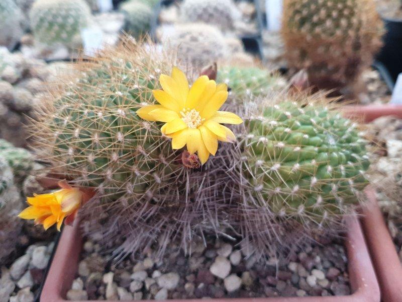Sulcorebutia arenacea v. kamiensis R 607
