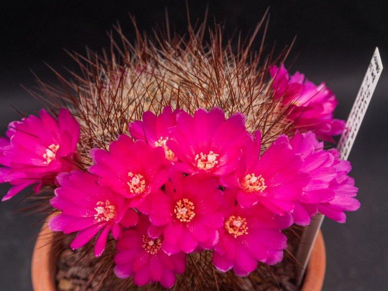 Sulcorebutia tiraquensis v. bicolorispina KK 809