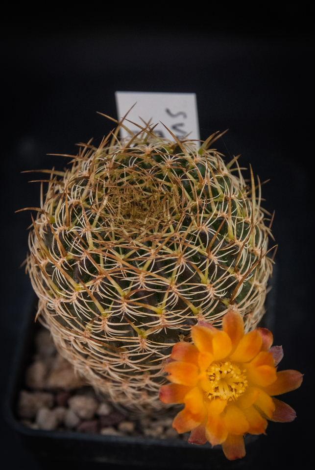 Sulcorebutia breviflora LH 1096