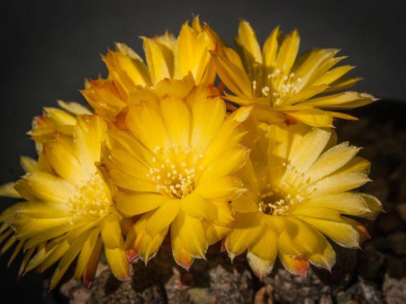 Sulcorebutia heliosoides LH 1544