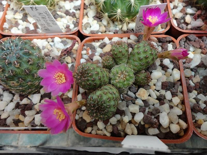 Sulcorebutia naunacaensis VZ 243