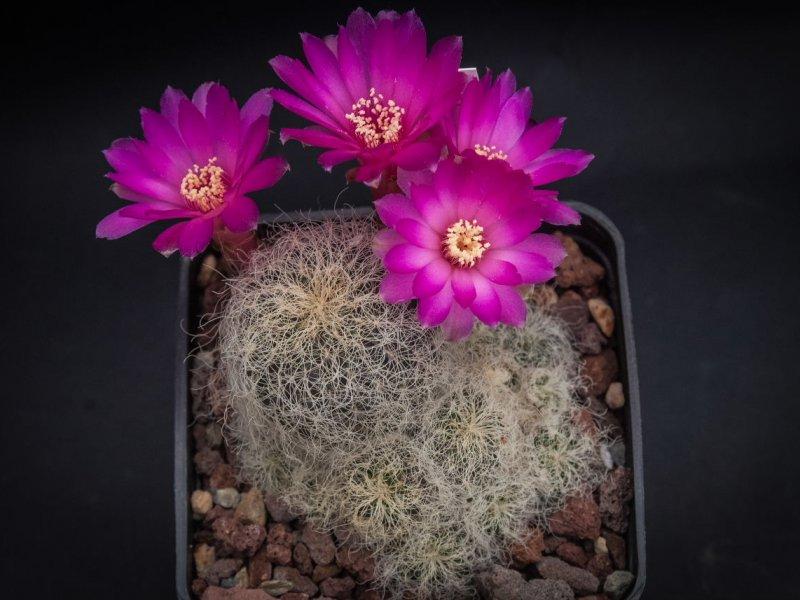 Sulcorebutia patriciae