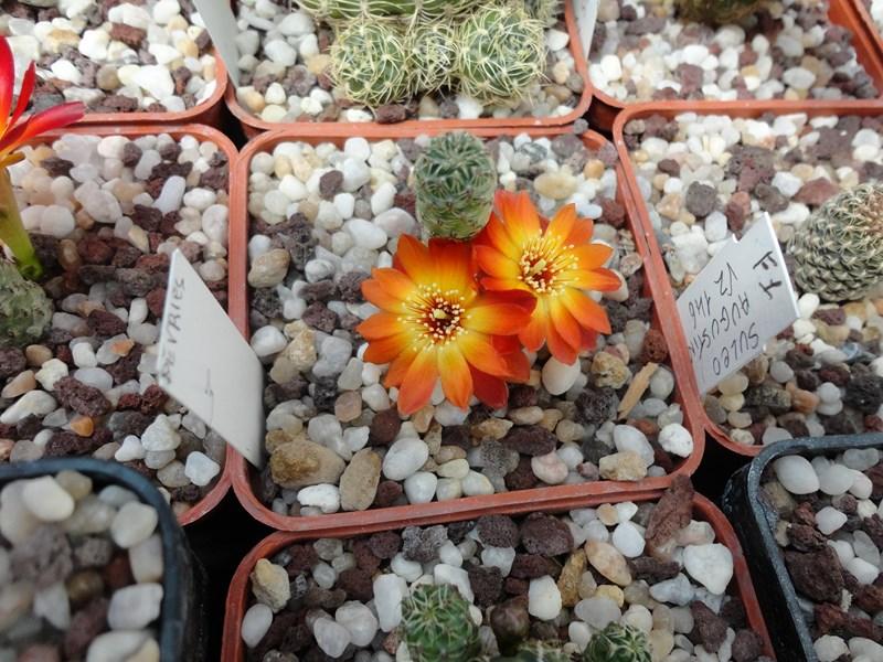 Sulcorebutia tarabucoensis  v. callecallensis VZ 195