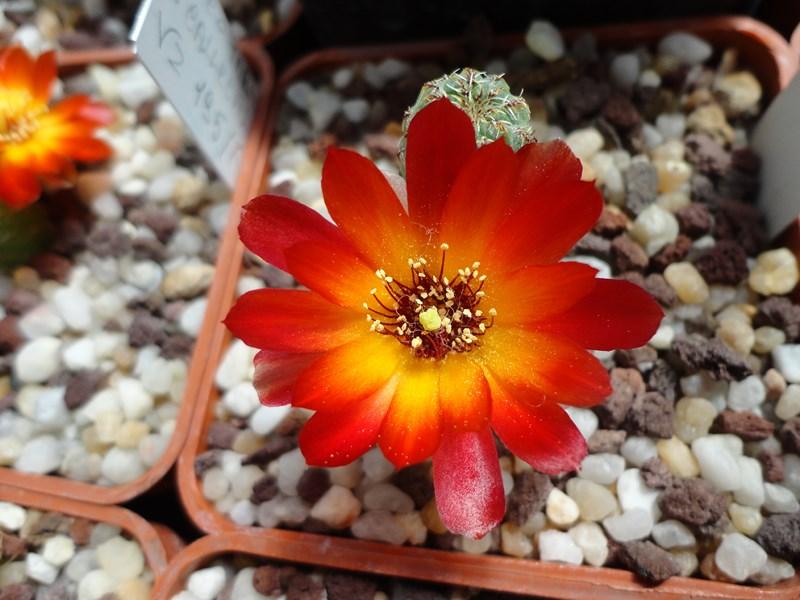 Sulcorebutia tarabucoensis v. callecallensis VZ 56