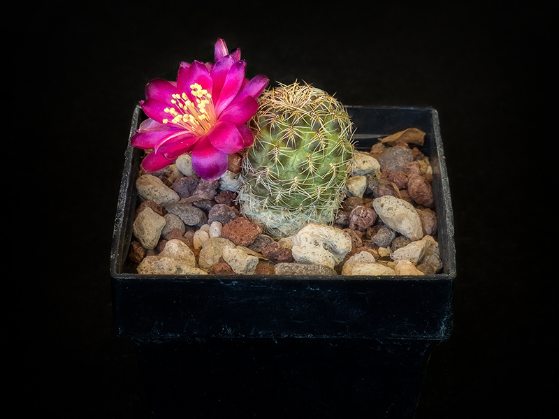Sulcorebutia vasqueziana v. losenickyana HS1