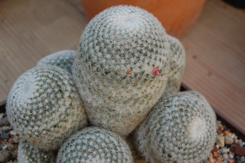 Mammillaria supertexta