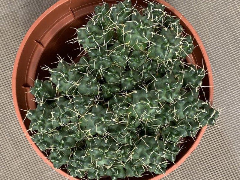 Tephrocactus pulcherrimus