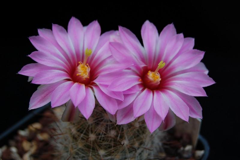 Mammillaria tetrancistra