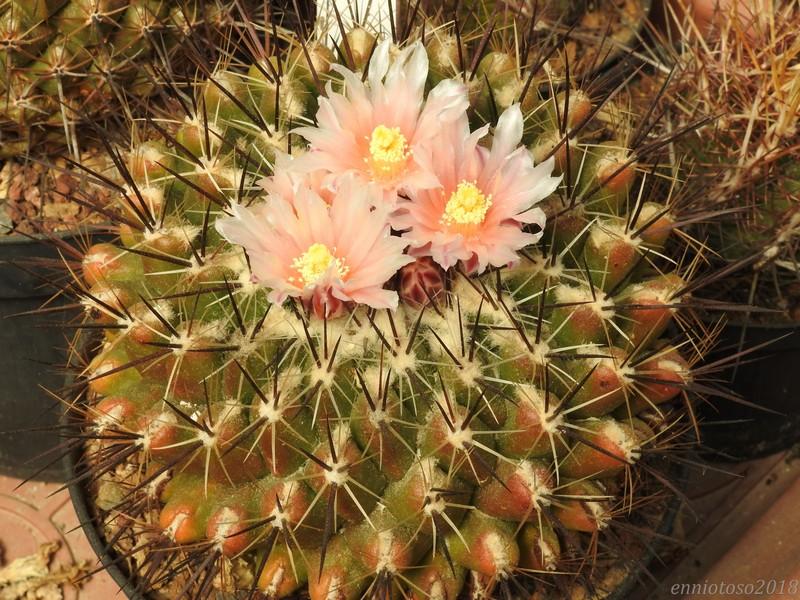 Thelocactus conothelos ssp. garciae