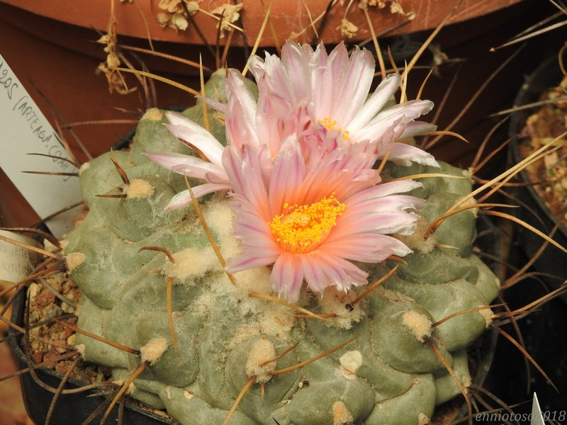 Thelocactus phymatothelos CH205