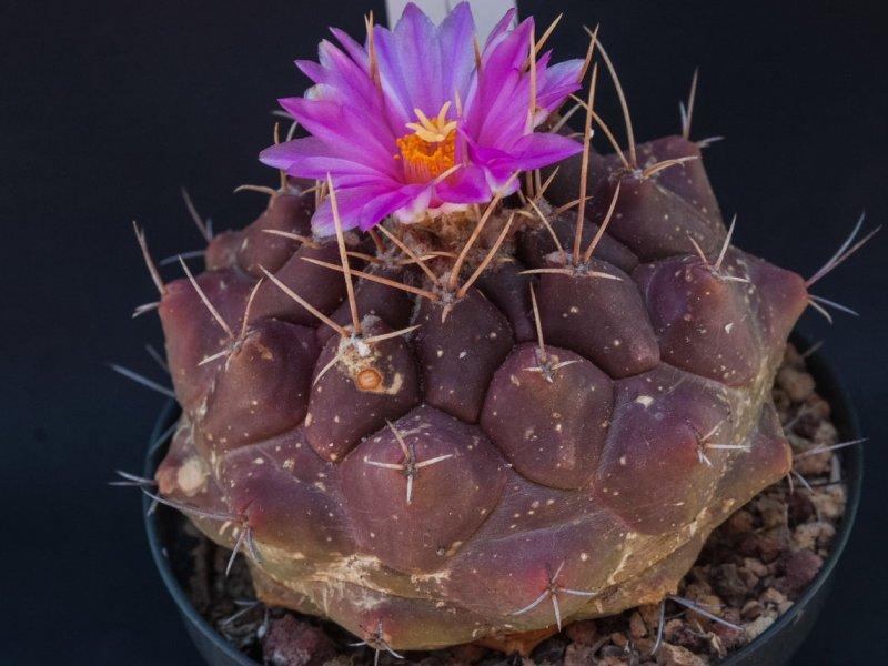 Thelocactus tulensis v. buekii