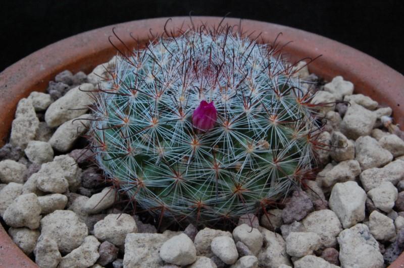 Mammillaria berkiana TL 756