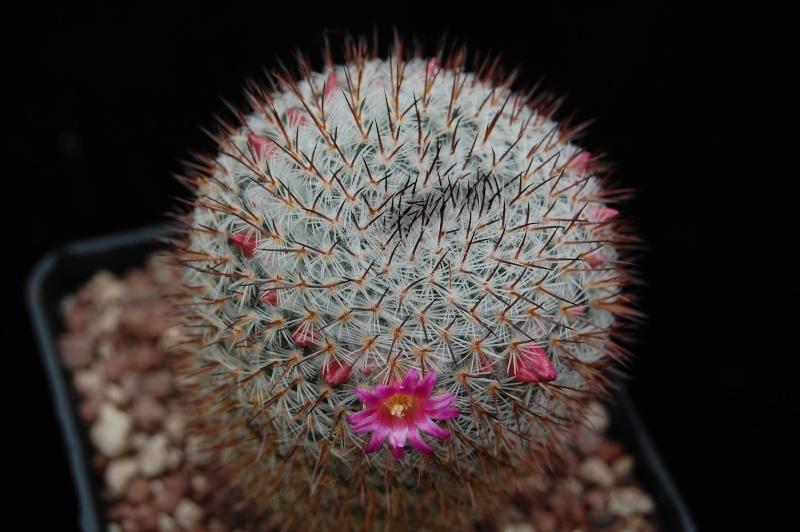 Mammillaria vaupelii REP 949