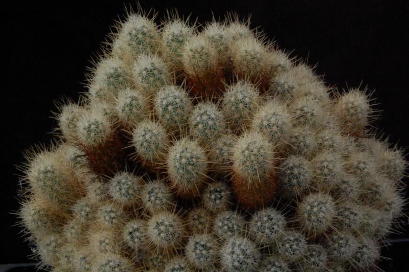 Mammillaria vetula ssp. echinaria
