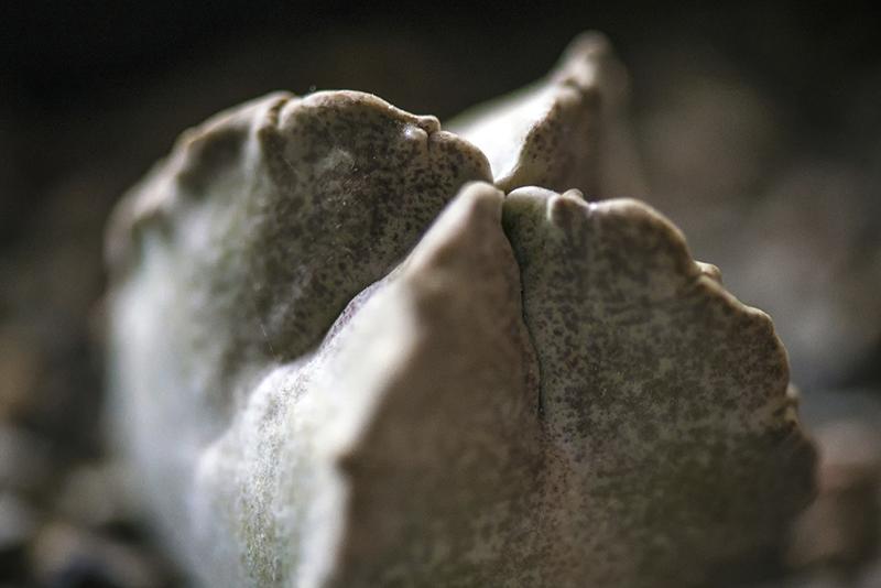 Whitesloanea crassa