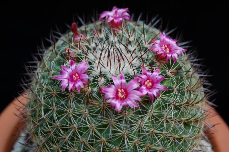 Mammillaria wiesingeri ssp. apamensis v. pratensis REP 1099