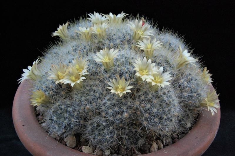 Mammillaria prolifera ssp. texana WTH 140