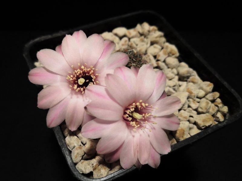 Mediolobivia pygmaea v. violascens NL88