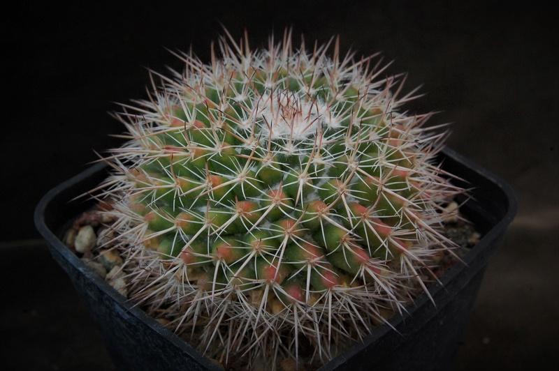 Mammillaria parkinsonii BZ 31
